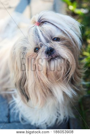 Shih tzu dog outdoors portrait