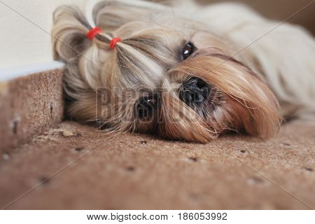 Shih tzu dog resting on carpet indoors
