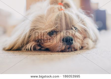 Shih tzu dog resting at home. Bright sunny light.
