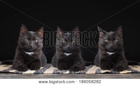 Three black kitten portraits. Cats are identical twins