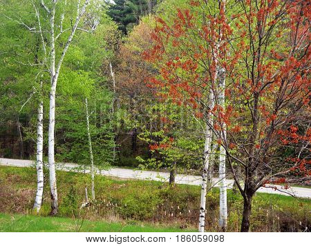 These contrasting birch, red maple and evergreens stand out with cattails.