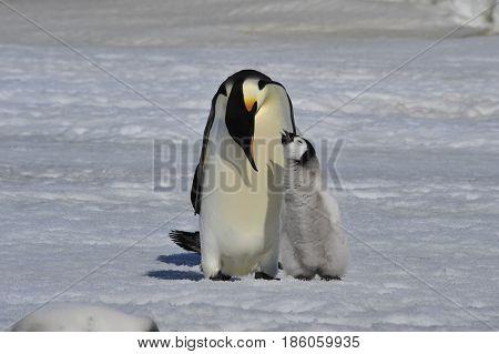 Emperor Penguins at Snow Hill Antarctica 2010 .