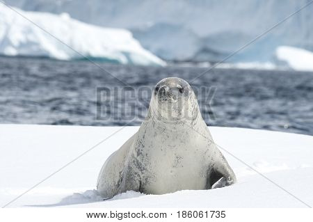 Crabeater seal on the ice in Antarctica