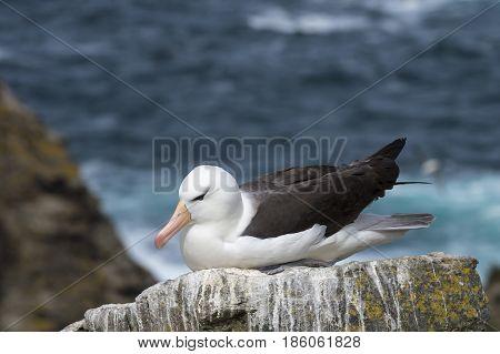 Black-browed albatross on Saunders Island, Falkland Islands