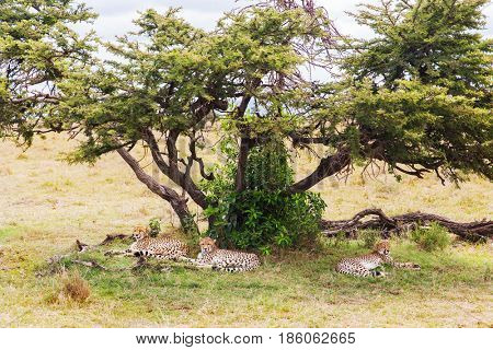 animal, nature and wildlife concept - cheetahs lying under tree in maasai mara national reserve savannah at africa