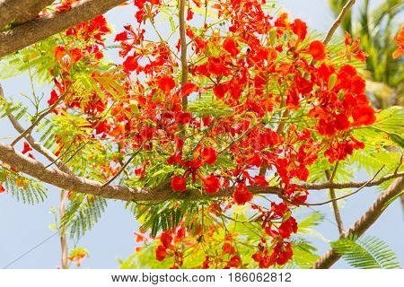 gardening, nature, botany and flora concept - beautiful exotic red flowers of delonix regia or flame tree outdoors