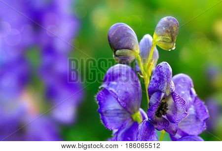 Blue flowers delphinium on a green blur background. Close-up of a blue delphinium in garden.