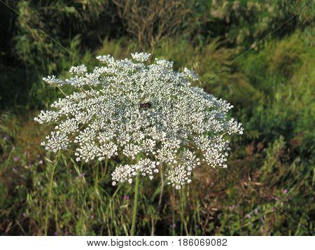Hogweed Or Hemlock