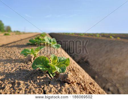 closeup on seedling of potato in a field
