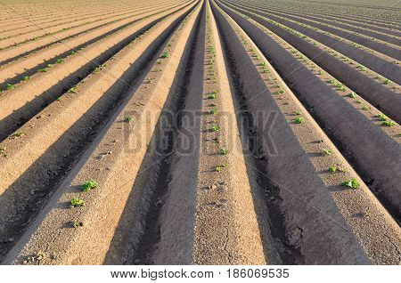 graphic rows of a potato field with seedlings