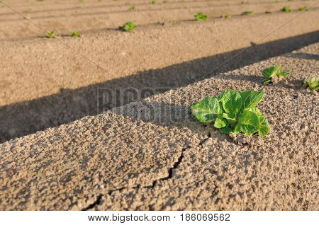 close on a potato seedling in a field