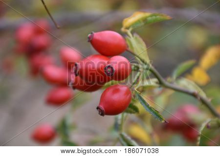 Autumn fruit - Hip - Sipak, jesenji plod