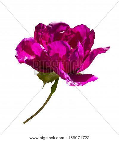 Peonies. Flowers peonies. Burgundy peony bud isolated on white background.