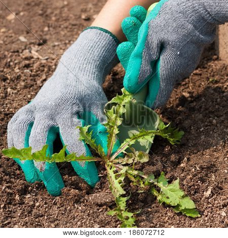Close Up Of Women Farmer Hands In Gloves With Gardening Tool Scoop Pull Weed From Ground In Garden. Struggle Weeds.