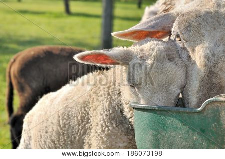 close on ewe and lamb drinking together in trough