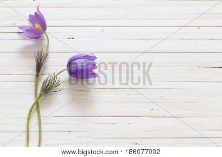 the pasque flowers on white wooden background