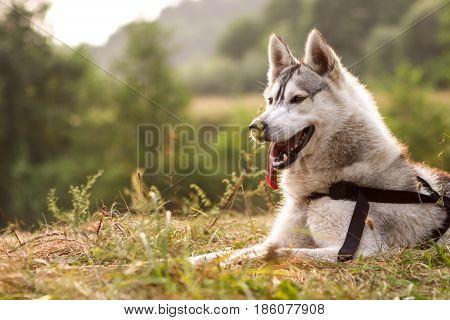 Husky Dog Portrait Near River In Green Forest Background.