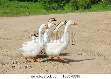Some young geese in a hurry to cross the road