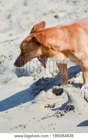 Big red dog who yawns on the sand at the beach of Malia in Crete