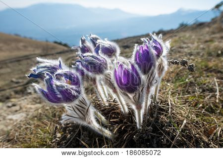 Pasque Flower blooming on spring meadow. Early spring on top of mountain peaks