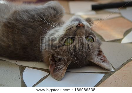 A small gray kitten photographed close-up - the cat lies on the floor