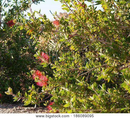 Callistemon plant native to Australia in full blossom