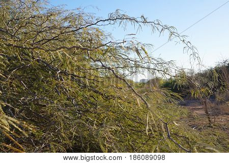 Young acacia tree right before the bloom
