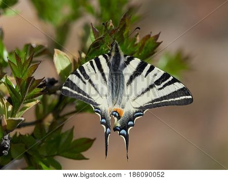 Scarce Swallowtail (Iphiclides podalirius) in natural habitat in spring