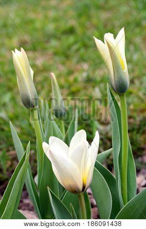 Tulipa Greigii 'concerto' In Early Morning