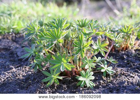 Lupinus Polyphyllus (large-leaved Lupine, Big-leaved Lupine, Garden Lupin)