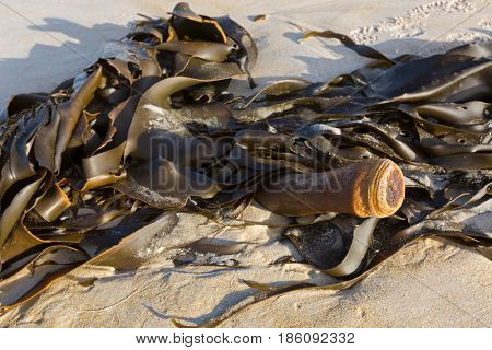 Selective focus of huge Bull kelp (Bullwhip kelp) washed ashore showing cylindrical stipe in Tasmania, Australia