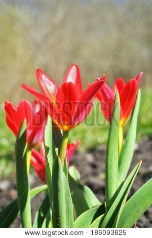Tulipa Kaufmanniana 'scarlet Baby'