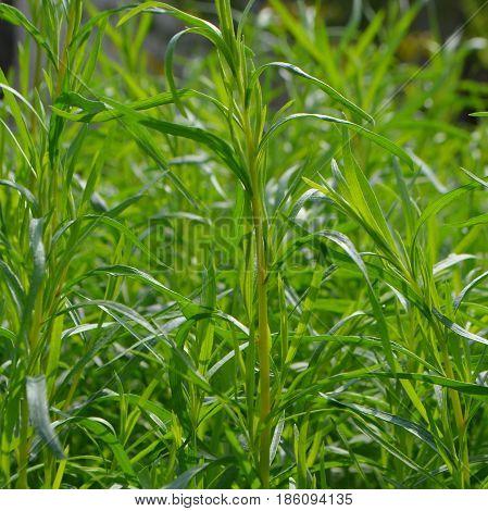 Tarragon bush grows in the garden - useful properties of tarragon