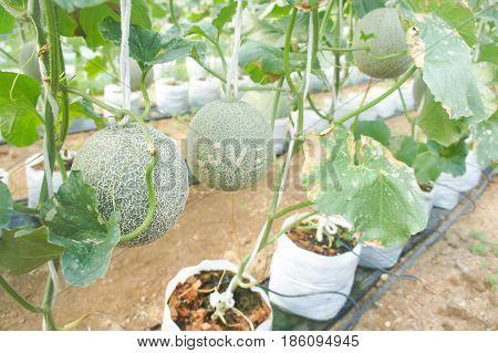 melon plant in the orchard , melon