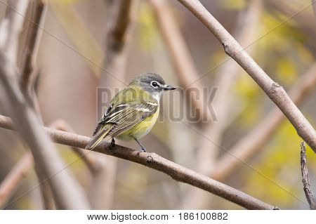 A Blue-headed Vireo perched on a branch during spring migration.