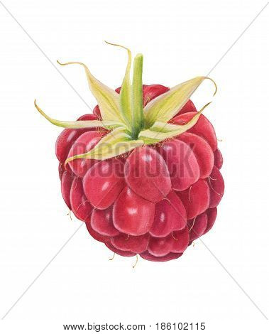 Watercolor Raspberry Isolated On White Background.