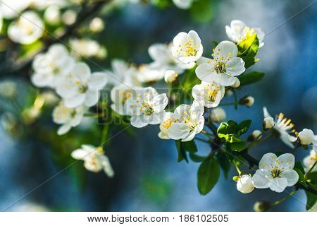 Gentle white plum blossoms blooming in the spring garden on background of blue sky a