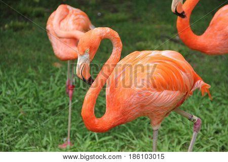 flamingo pink flightless bird animal background art