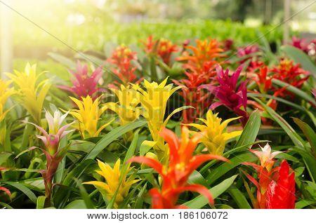 Bromeliad flower blooming in the garden, guzmania