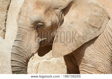 Elephant walking. Animal photographed in captivity. Valencia, Spain.