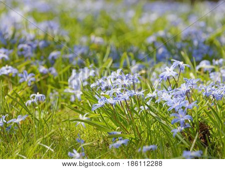 Beautiful blue scilla or squill flowers short depth of focus
