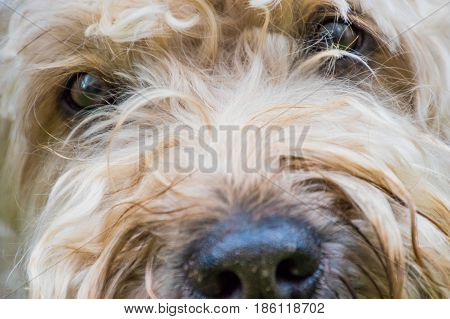Irish soft coated wheaten terrier white and brown fur dog