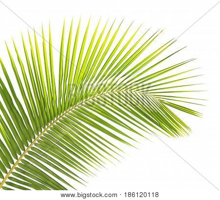 Green Coconut Leaf Isolated On White Background