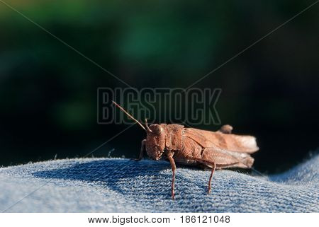 Macro shot of a grasshopper on blue jeans