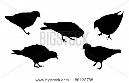 Set of realistic illustrations of silhouette walking and pecking pigeon isolated on white background