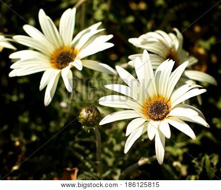 African Daisy Flowers (Arctotis Acaulis) closeup on Leafs and Stems background Outdoors. Focus on Foreground