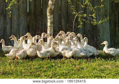 Brood Of Small Ducks On The Green Grass, Summertime