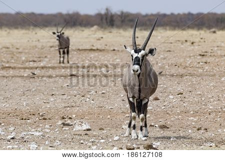 Portrait Of Standing Antelope In The Etosha National Park