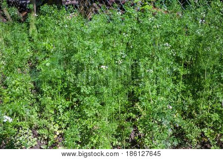 Fresh Green Coriander In Garden Or Farm