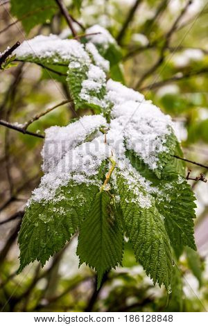 snow on branch of blooming tree in spring